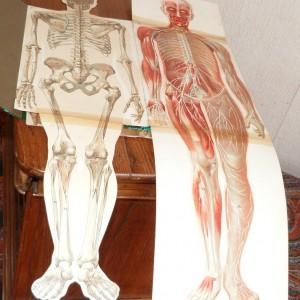 Demi-cuir vert à bandes, papier Annonay vert,chemise incluse dans la boite contenant des dépliants sur le corps humain.